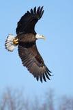 Amerikanskt skalliga Eagle flyga Arkivfoto