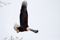 Amerikanskt skalliga Eagle flyga Arkivbilder