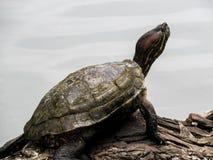 Amerikanskt solbada för sköldpadda royaltyfri bild