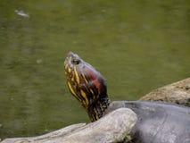 Amerikanskt solbada för sköldpadda arkivbild