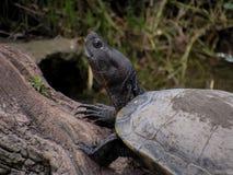 Amerikanskt solbada för sköldpadda arkivbilder