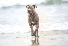 AmerikanStafford spring på stranden Arkivbild