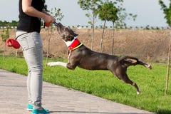 AmerikanStafford Terrier hund som spelar dragkampen royaltyfri fotografi