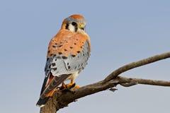 Amerikantornfalk (Falcosparveriusen) Royaltyfri Bild