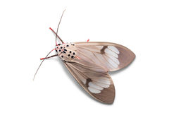 Amerila astreus moth Stock Photos