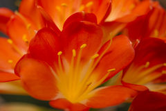 Amerillis blomma. Royaltyfri Fotografi