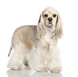 Amerivan Cocker Spaniel (1 year old) Stock Photo