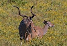 Amerous Męski Dąży Żeński Nyala Przez koloru żółtego Kwitnął trawy Zdjęcie Stock