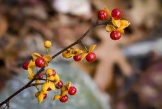 Amertume orientale Photo stock