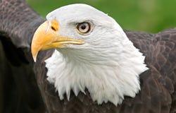 amerykańscy łysego orła szeroko rozpościerać skrzydła Zdjęcie Stock