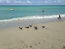 Amerykańscy Oystercatchers przy południe plażą w Miami Obrazy Stock