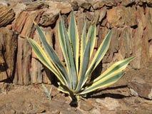Amerykańska agawa w słonecznym dniu Obraz Royalty Free