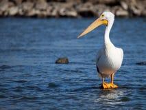 Amerykańska Białego pelikana pozycja na skale Zdjęcia Stock
