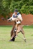 amerykańska buldoga figurant praca Fotografia Royalty Free