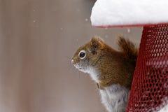 Amerykańska Czerwona wiewiórka na dozowniku zdjęcie stock