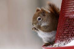 Amerykańska Czerwona wiewiórka na dozowniku obraz stock