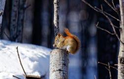 Amerykańska Czerwona wiewiórka na fiszorku zdjęcie stock