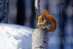 Amerykańska Czerwona wiewiórka na fiszorku fotografia stock