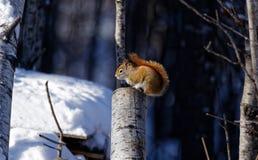 Amerykańska Czerwona wiewiórka na fiszorku obrazy stock