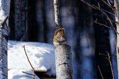 Amerykańska Czerwona wiewiórka na fiszorku zdjęcia royalty free