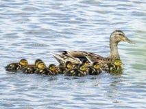 Amerykańska kaczka z kaczątkami Obrazy Royalty Free