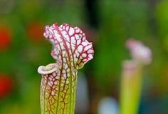 Amerykańska miotacz roślina, Sarracenia gatunki obraz stock