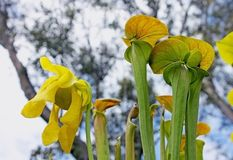 Amerykańska miotacz roślina, Sarracenia gatunki fotografia royalty free