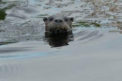 amerykańska północna wydrowa rzeka Zdjęcie Royalty Free