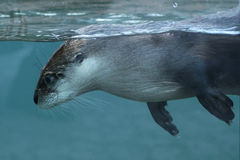 amerykańska północna wydrowa rzeka Zdjęcie Stock