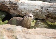 amerykańska północna wydrowa rzeka Obrazy Stock