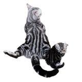 Amerykańska shorthair kota rodzina Mama kot z figlarką Obrazy Royalty Free