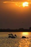 Amerykańska Wielka Białego pelikana sylwetka Fotografia Stock