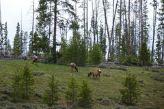 Amerykański łoś lub Wapiti w Idaho Obrazy Royalty Free