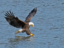 Amerykański Łysego Eagle ryba chwyt Obrazy Stock