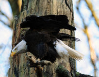 amerykański łysego orła polowanie Zdjęcia Royalty Free