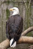 Amerykański Łysy Eagle Fotografia Stock