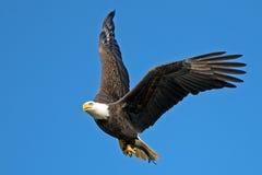 Amerykański Łysy Eagle obraz royalty free