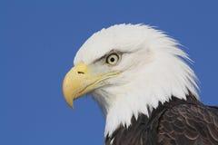 amerykański łysy orzeł fotografia stock