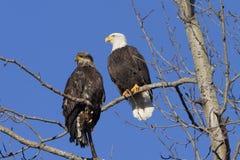 amerykański łysy orzeł Zdjęcia Royalty Free