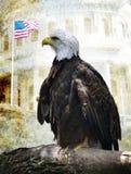 Amerykański Łysy Orzeł obraz stock