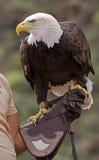 Amerykański łysy orzeł 1 obraz stock