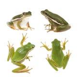amerykański żaby zieleni hyla drzewo Fotografia Royalty Free