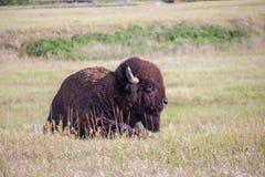 Amerykański żubr kłaść w obszarach trawiastych Południowy Dakota Zdjęcie Royalty Free