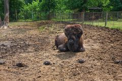 Amerykański żubr kłama na piasku przy zoo obrazy stock