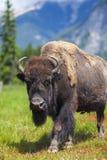 Amerykański żubr lub bizon zdjęcia royalty free