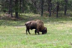 Amerykański żubr na obszarze trawiastym, Custer stanu park, Południowy Dakota, usa obraz royalty free