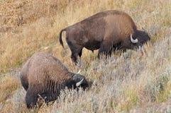 Amerykański żubr w obszarach trawiastych - Yellowstone park narodowy Obraz Stock