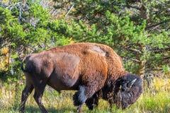 Amerykański żubr w Yellowstone obrazy royalty free