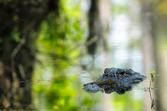 Amerykański Aligator Zdjęcia Royalty Free
