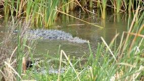 Amerykański aligator, aligatora mississippiensis i Pospolity Gallinule ptak, Gallinula galeata zdjęcie wideo
